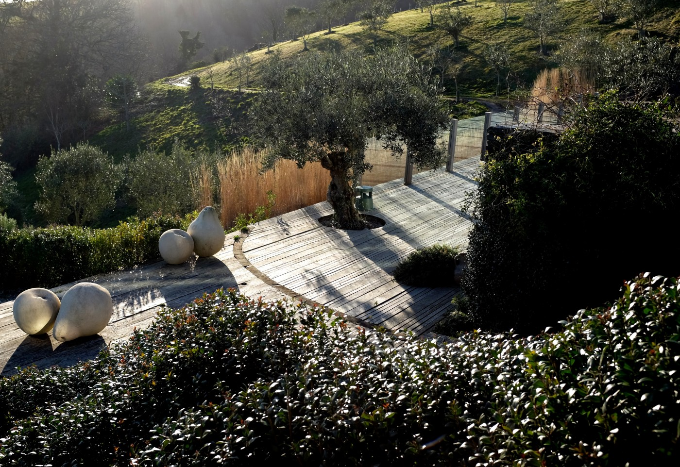 Mediterranean garden design. Olives in Devon.